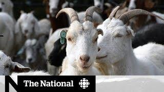 Video How goats helped Edmonton fix a weed problem | The Fix MP3, 3GP, MP4, WEBM, AVI, FLV Agustus 2019