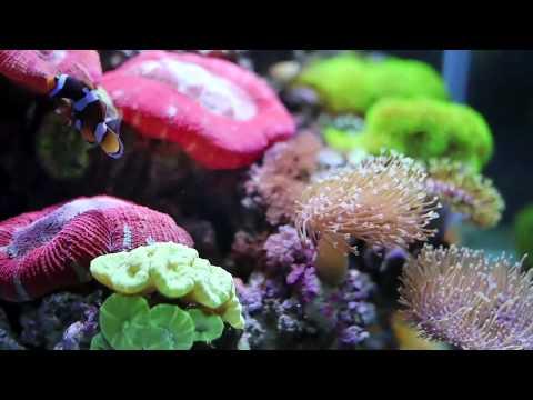 My Soft Coral Tank
