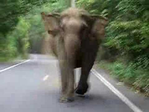 你知道被一支生氣的大象追,是一件多恐怖的事情嗎!?