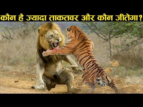 शेर ओर बाघ की लड़ाई हो तो कौन जीतेगा ।। LION VS TIGER - WHO WILL WIN A FIGHT?