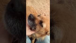Louise - Border Terrier / Norfolk Terrier Dog For Adoption