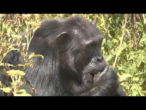 Uganda: Besuch im Schimpansen Reservat