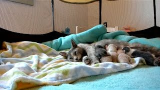 Live webcam of adoptable momcat and kittens from Kitkat Playroom About the Littlest Chefs family: The 5 Chefs are orphans...