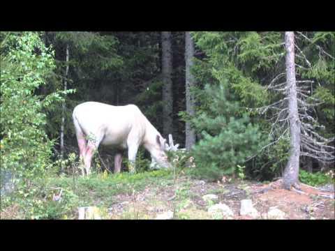Videokuvaa upeasta valkoisesta hirvestä