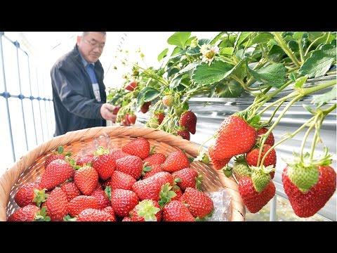 神戸市北区でイチゴ収穫本格化