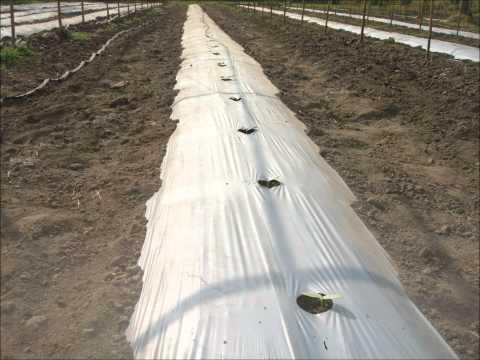 ระบบน้ำหยด - การปลูกแตงกวาระบบน้ำหยด.