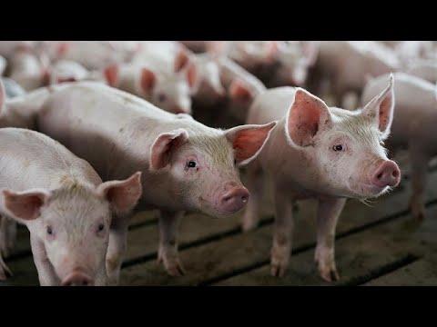 Διαμαρτυρία αγροτών για την θανάτωση γουρουνιών