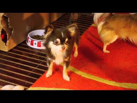 Chihuahua– Why Don't Ya Want Me?  I'm Chocolate!