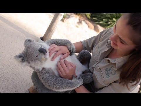 Chilled Koala Loves Cuddles