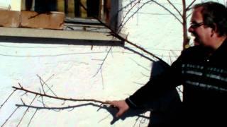 #312 Schneiden im Garten 2011 - Obstbäume in Doren Bregenzerwald 8v8 (Pfirsichspalier schneiden)