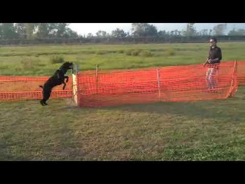 Accoppiamento cane corso, disponibile per monta, accoppiamento, monta. roma