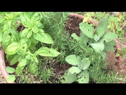 Propagating Herbs in Sand : Herb Gardening