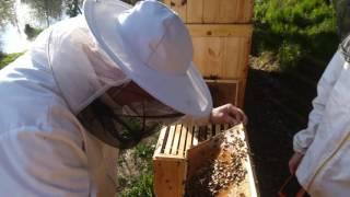 Jak bolí včelí bodnutí?