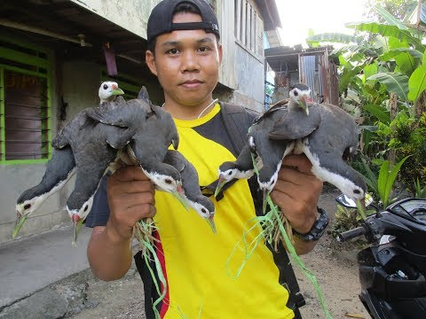 jerat burung ruak ruak full movie (dapat 9 ekor) bird trap