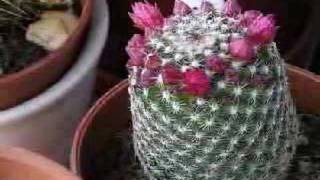 Cacti flowers opening (time lapse)