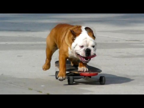 Divertido Bulldog haciendo Skateboarding