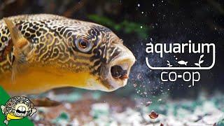 WOW, HE ATE IT! Puffer Fish by Aquarium Co-Op