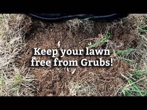 Controlling Grubs in Your Lawn -- Expert Lawn Care Tips