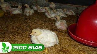 Chăn nuôi gà | Điều trị bệnh Gumboro ghép nhiễm khuẩn E.coli ở gà