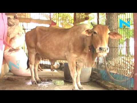 कानपुरः OLX पर ऑनलाइन बिक रही है गाय, खरीददार के लिए है कुछ शर्तें