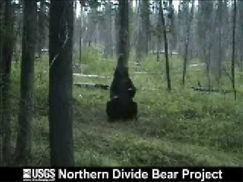 Pole(Tree)-Dancing Bear!