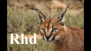 Video Caracal, Lions, Koodo of  South Africa  Karoo National Park.  Nature 2018 full HD. MP3, 3GP, MP4, WEBM, AVI, FLV Desember 2018