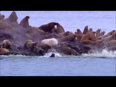 Polar Bears A Summer Odyssey 3 الملحمة الصيفية للدبب القطبية