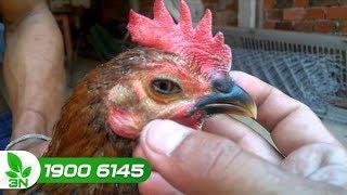 Cách điều trị bệnh Coryza cho gà hiệu quả không phải ai cũng biết