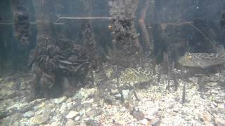 Checkered Puffer Fish In Mangroves - Kayaking In Oleta River State Park, North Miami Beach, FL