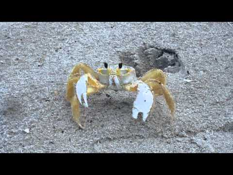 Ghost Crab at Cocoa Beach