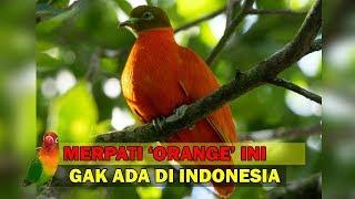 Burung Merpati / Burung Dara Berwarna Orange Yang Gak Ada Di Indonesia