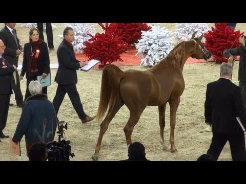 World Arabian Championship. Senior Male.París 2011.Salon du cheval