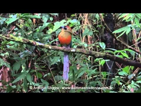 Baryphthengus ruficapillus, Poço das Antas-MongaguaSPBR 3 9 2015 Antonio Silveira