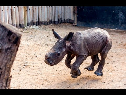 An Adorable Baby Rhinoceros Comes Running Whenever He Hears His