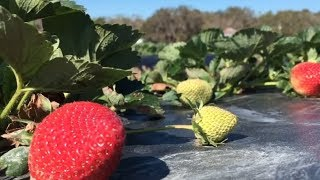 Davis Dempsey, of Dempsey Farms on St. Helena Island, said the family farm has been unusually active the past few weeks with locals picking their own strawberries. That's generally not the case for February and March, but the unseasonably warm winter has yielded a bounty, maybe even a record crop, he said. With temperatures in the 30s this day, the farm was closed March 15, 2017, but Dempsey ventured out to explain his plan to avoid crop damage during the expected overnight freeze. It didn't involve covering the plants, but would require a very early wake-up time.http://www.islandpacket.com/news/local/community/beaufort-news/article138645638.html