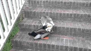 Walka o śmierć i życie kaczki z kotem!