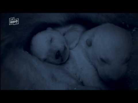 """Eisbärbabys in der Arktis - Auszug aus Terra X """"Eisige Welten"""" - polar bear babys"""