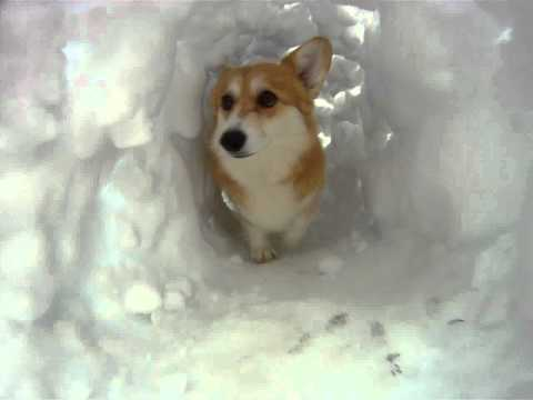 Corgi runs through a snow tunnel
