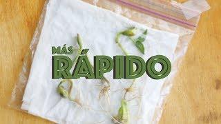Video Cómo germinar una semilla más rápido | Huerto Urbano Villarreal | Método de la servilleta MP3, 3GP, MP4, WEBM, AVI, FLV Mei 2019