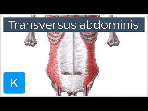 Transversus Abdominis Muscle: Function & Origins - Human Anatomy |Kenhub