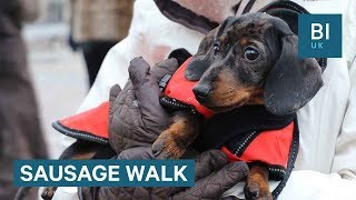Download Lagu We joined a mass sausage dog walk with 100 dachshunds Mp3