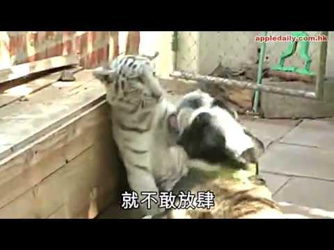 老虎狗「收養」白獅小虎教守秩序
