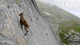 Koziorożec alpejski na stromej ścianie! Spragniony nie jesteś sobą i masz gdzieś grawitację!