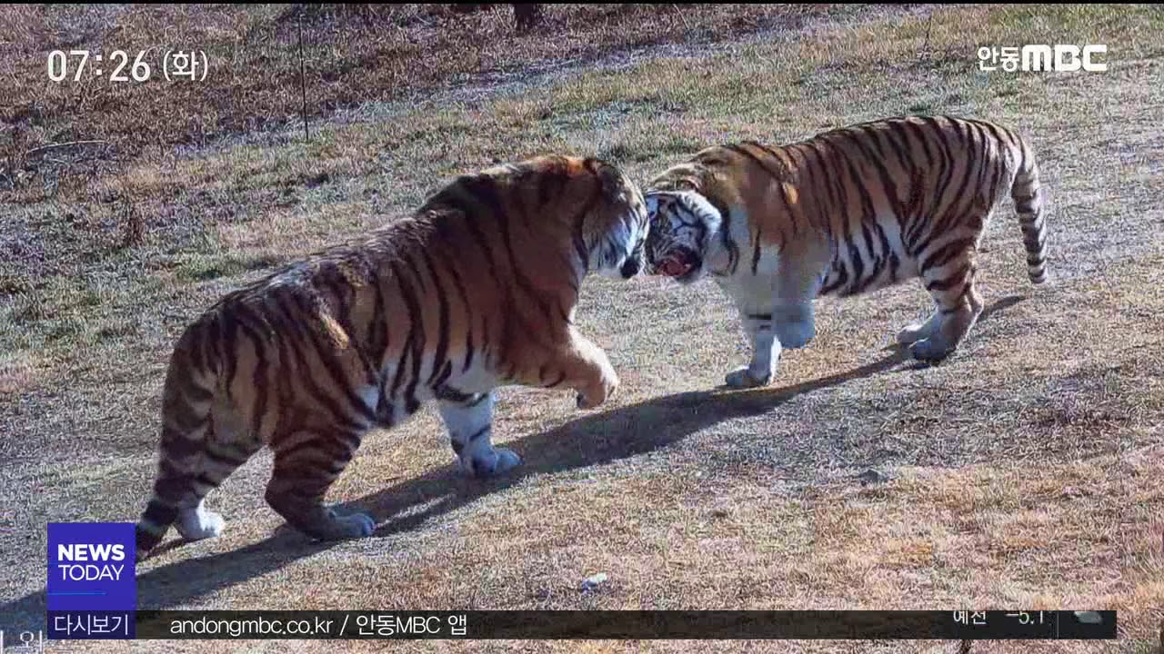 R 백두대간수목원 호랑이들의 일상(영상 1'12