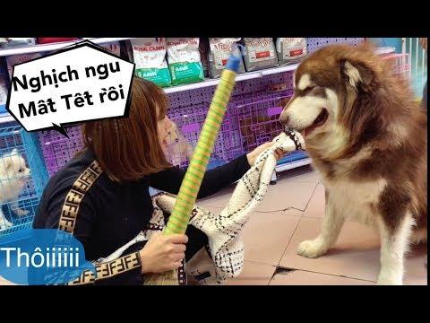 Mật nghịch ngu cắn rách áo hiệu mới mua của chủ và cái kết đắng lòng Mật Pet Family - Thời lượng: 10 phút.