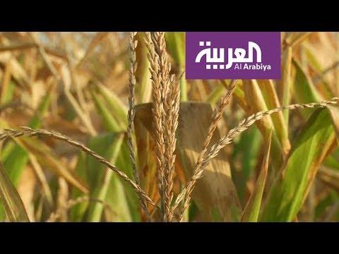العرب اليوم - شاهد: إنتاج طن من القمح يحتاج ألفًا من المياه
