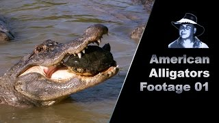 Alligator Eats Turtle Stock Footage
