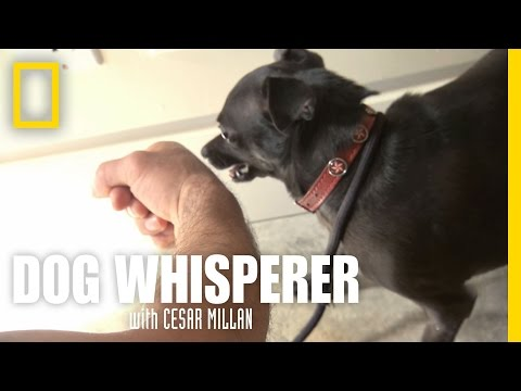 dog whisperer - chihuahua aggressivo