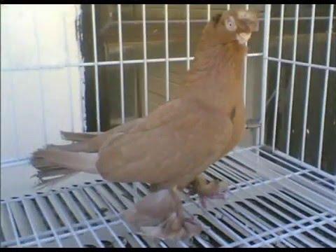 الاردن..طيور..حمام - قيديو طيور الحمام وليد الشنب كش حمام طيور الزينة حمام طيار شامية ثوابت.