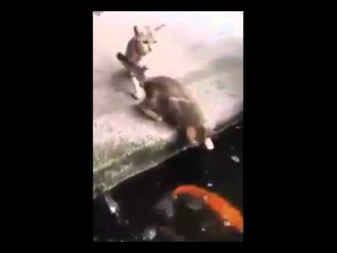 Cica játszik a halastó mellett a halakkal, a másik cica próbálja erről lebeszélni, nem véletlenül...